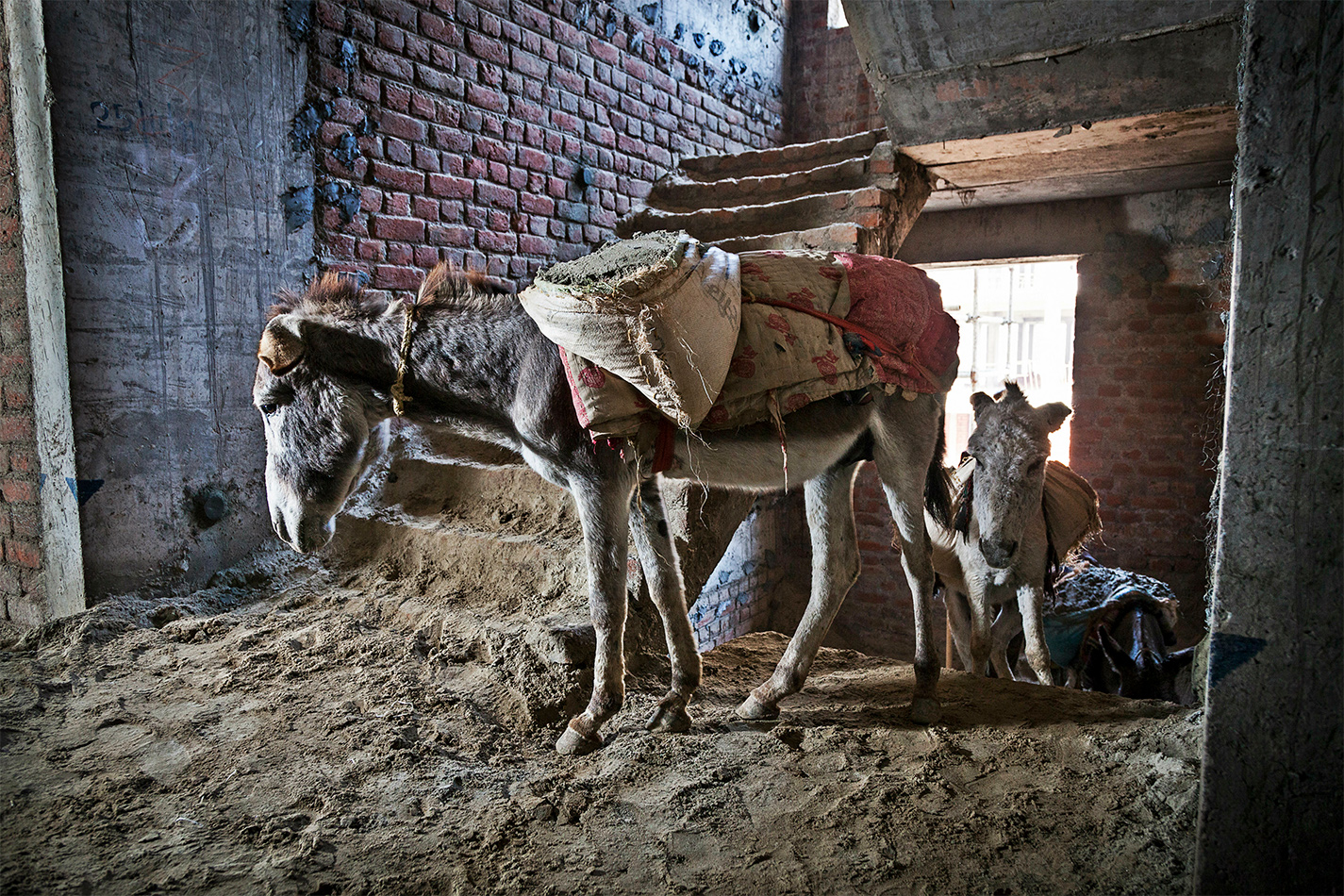Donkeys being used in construction
