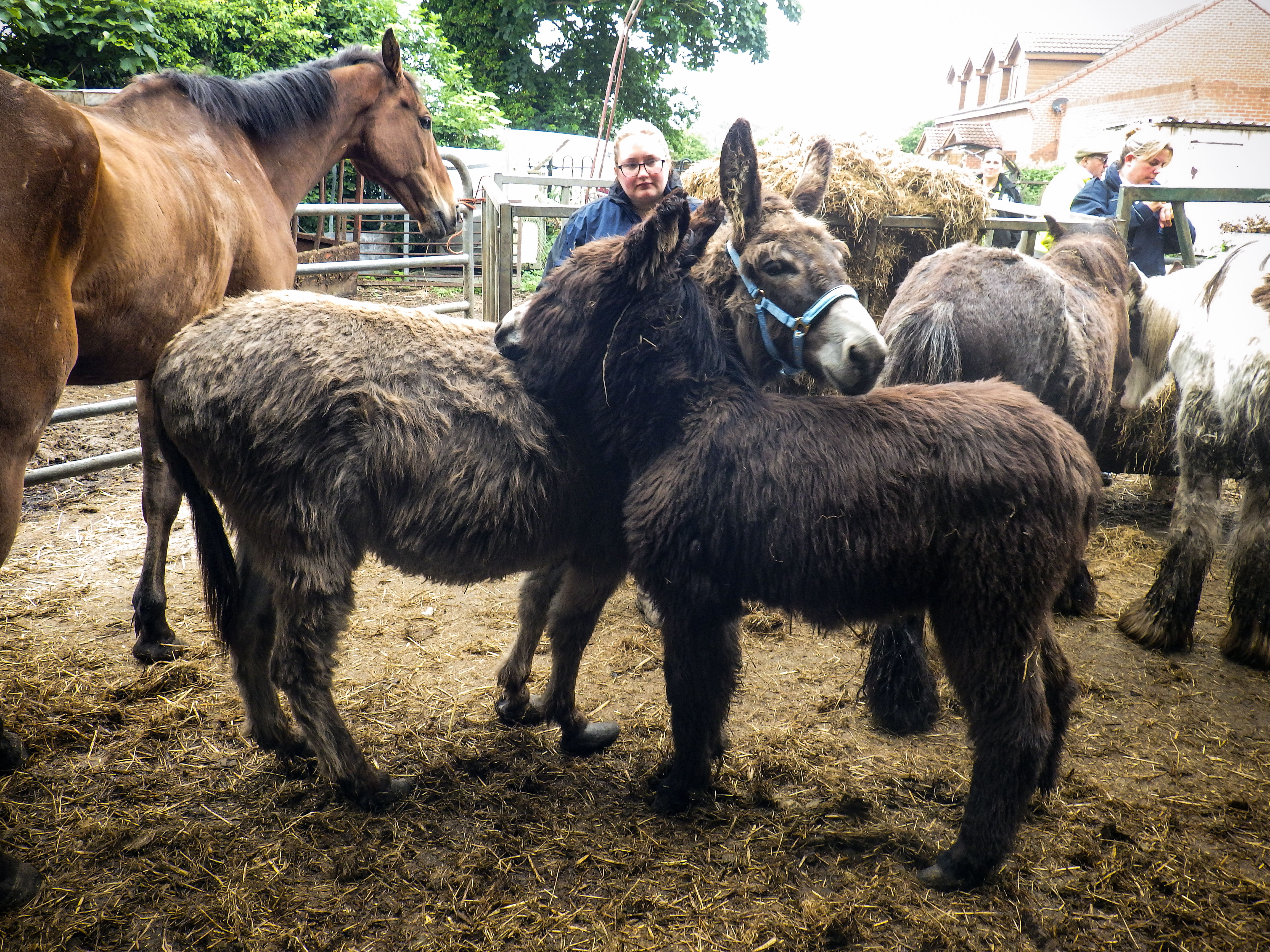 Donkeys grooming each other in muddy yard during RSPCA rescue