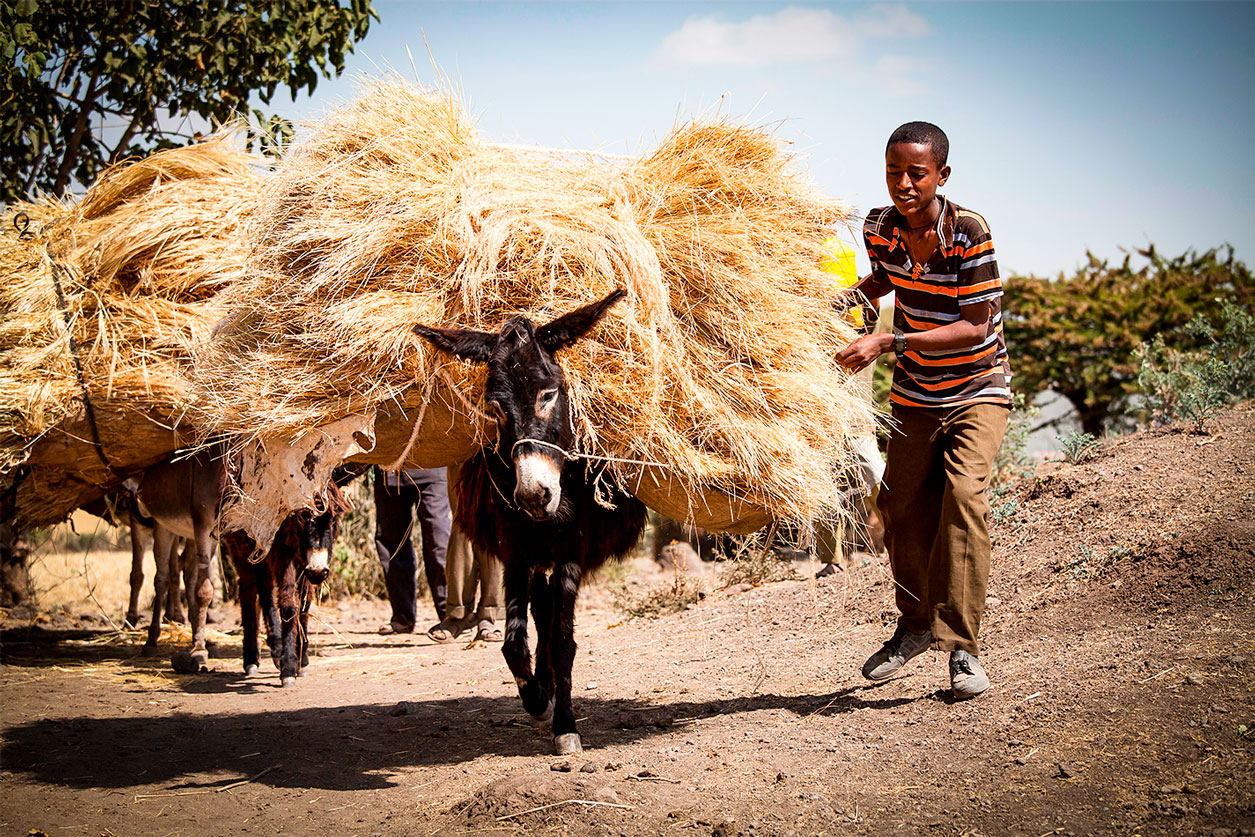 Donkey carrying crops