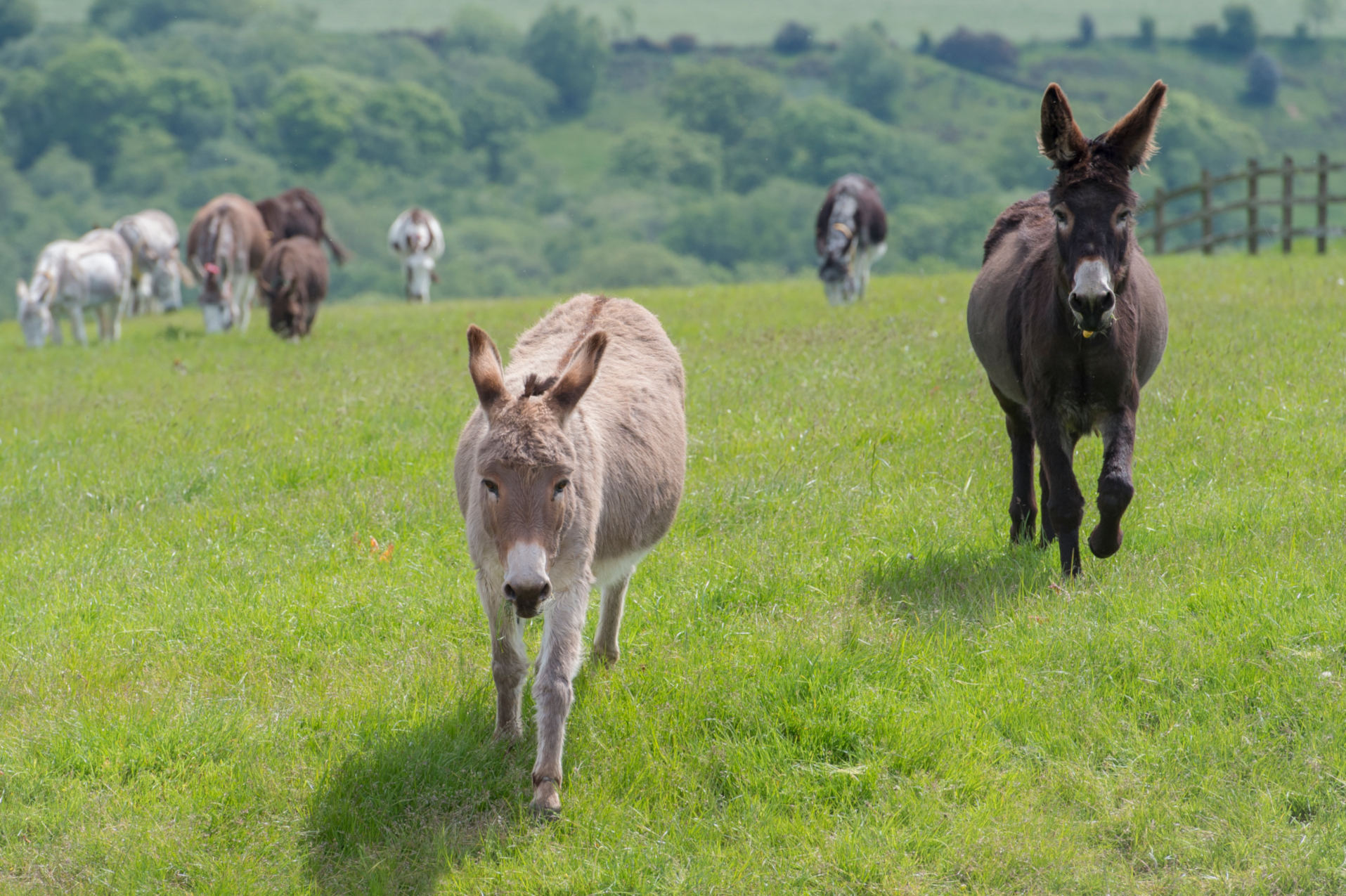 Donkeys running through pasture
