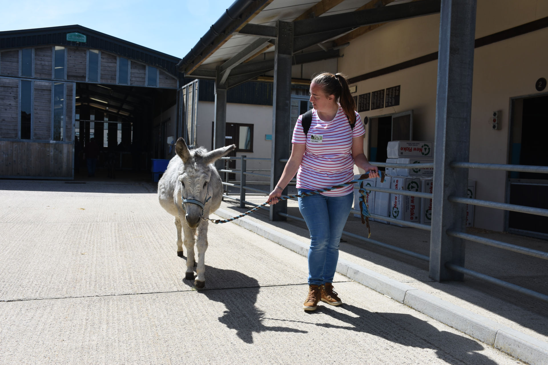 Anne-Marie Jeffries walking a donkey at Donkey Week