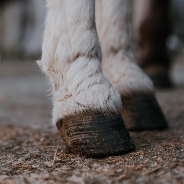Donkey's hooves