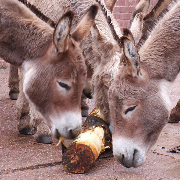 Donkeys chewing non-poisonous log - cropped