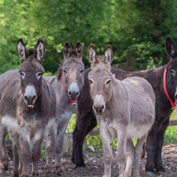 Four donkeys together