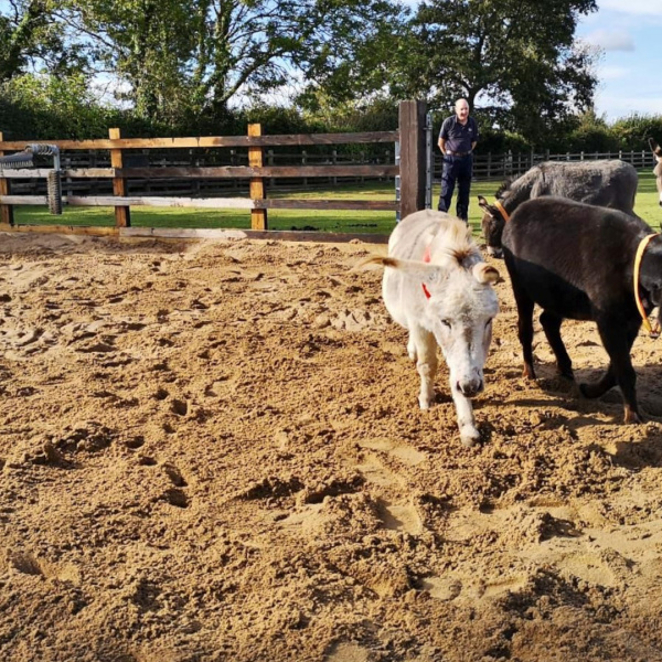 Miniature donkeys in their new sand area