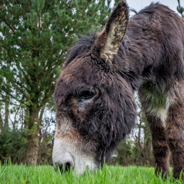 Boomer, the tea drinking donkey, eating grass