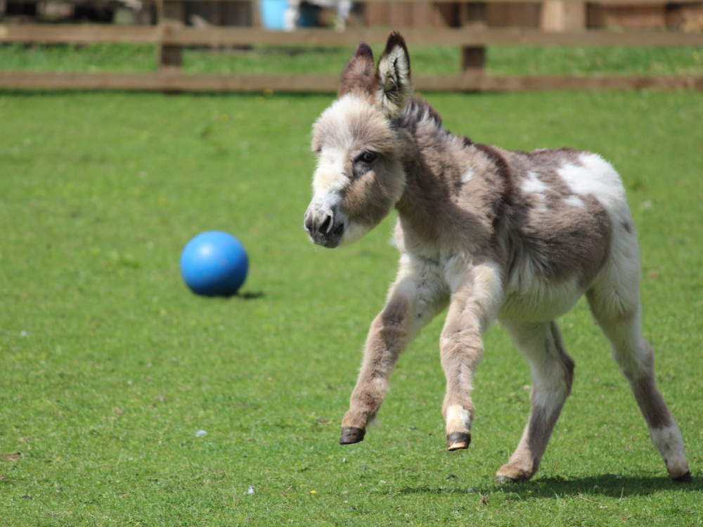 Donkey enrichment - playing with a ball