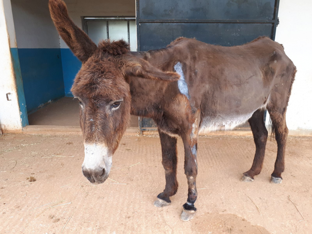 Donkey Anastasia stood in stable yard with wounds on show