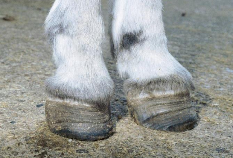 Laminitis in donkey - rings of abnormal hoof tissue which diverge towards the heels