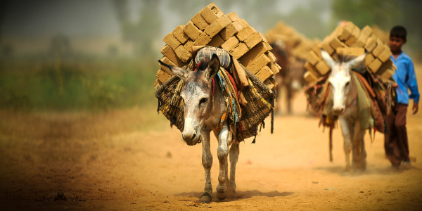 Donkeys working in an Indian brick kiln