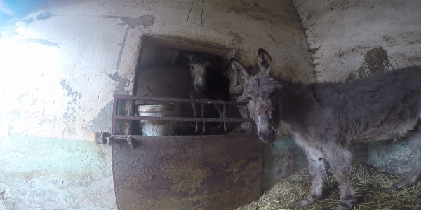 Timmy and Tommy standing in a stable before being rescued