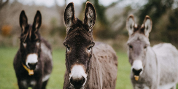 Three donkeys in a field