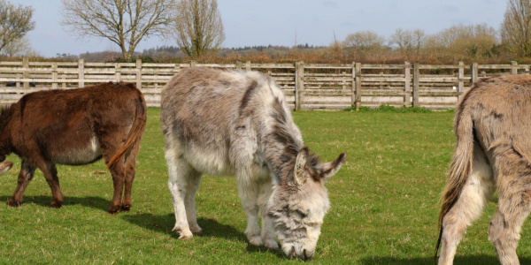 Ricky the Miniature Donkey