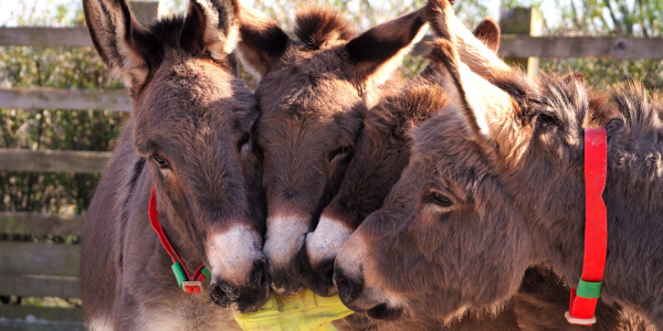 Four donkeys with welly boot index card