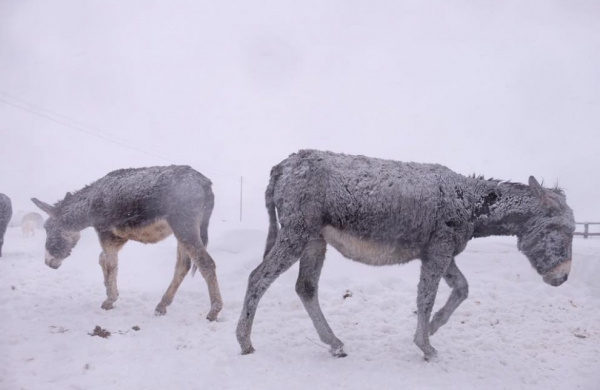 Donkeys in an Italian snow storm