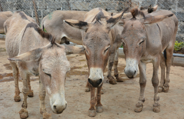 Donkeys in Keyna