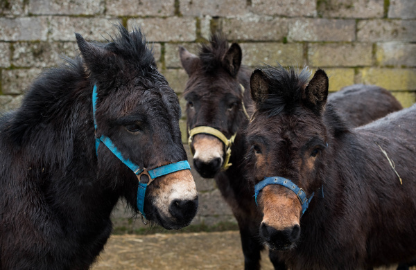 Three Scottish mules get the treatment they needed