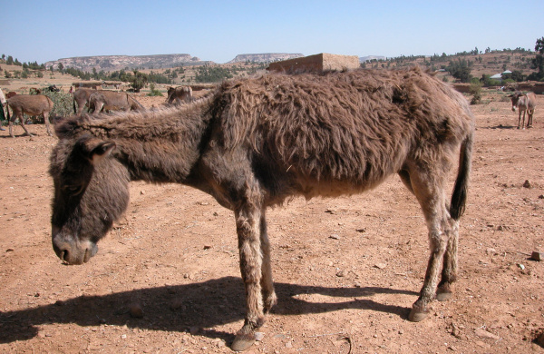 African donkey showing signs of dullness and inappetence