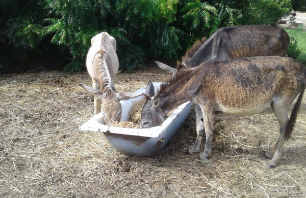 Antigua donkeys enjoy hay-straw mix