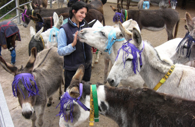 Donkeys wearing fly fringes