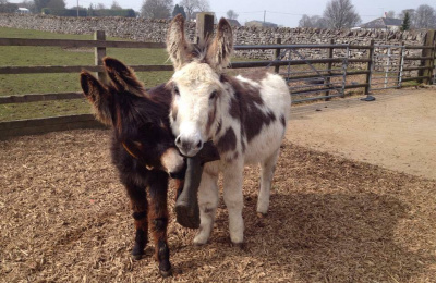 Donkey enrichment - playing with a welly boot