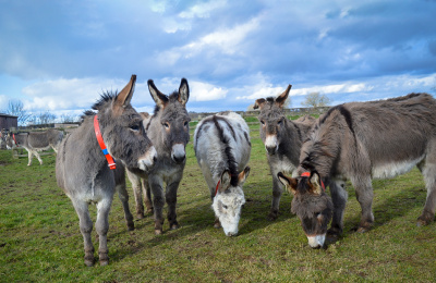 Rescued donkeys grazing