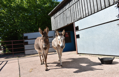 Daisy and Buttercup in stable yard with over grown hooves