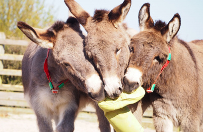 Donkeys with welly boot