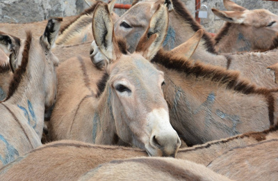 Donkeys in pen waiting slaughter