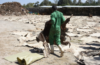 Worker in Kenya slaughterhouse carrying dried donkey skin