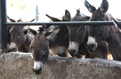 Donkeys in a slaughterhouse holding area