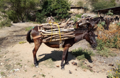 Working mule in Mexoco carrying firewood