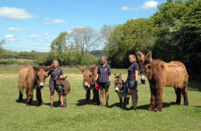 Poitou and miniature donkeys
