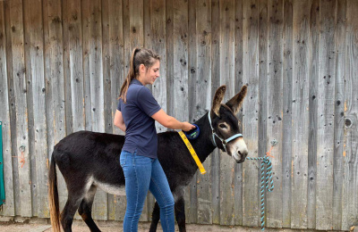 Microchipped donkey being scanned