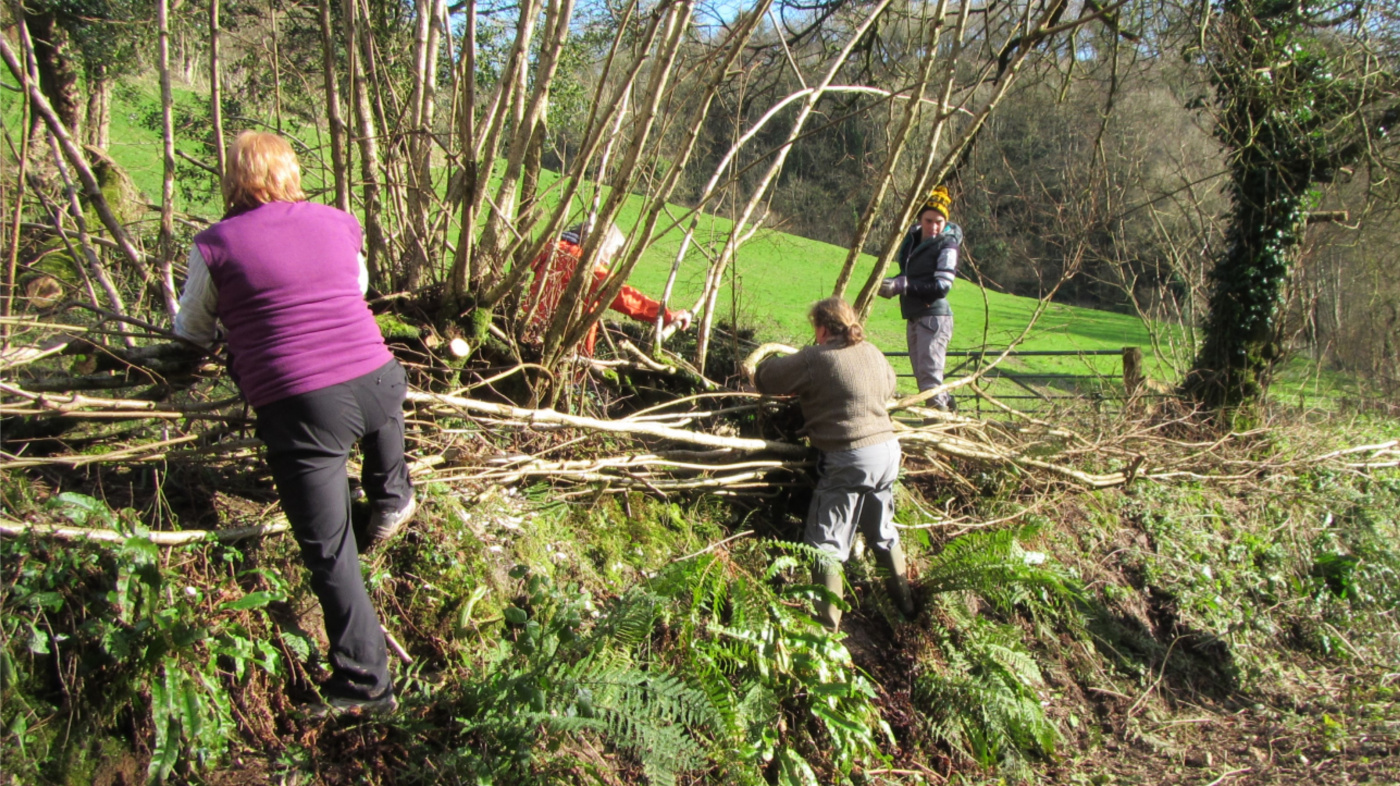 Volunteers laying a new hedge
