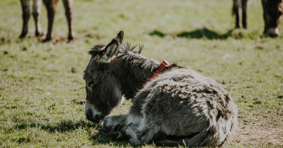 Colic in donkeys: Signs and treatment advice | The Donkey Sanctuary