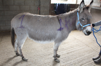 Donkey taken into possession by RSPCA
