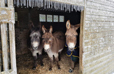 Donkeys taking shelter