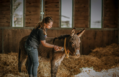 Donkey being groomed